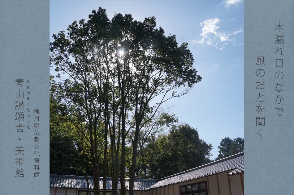 中庭の白樫の木